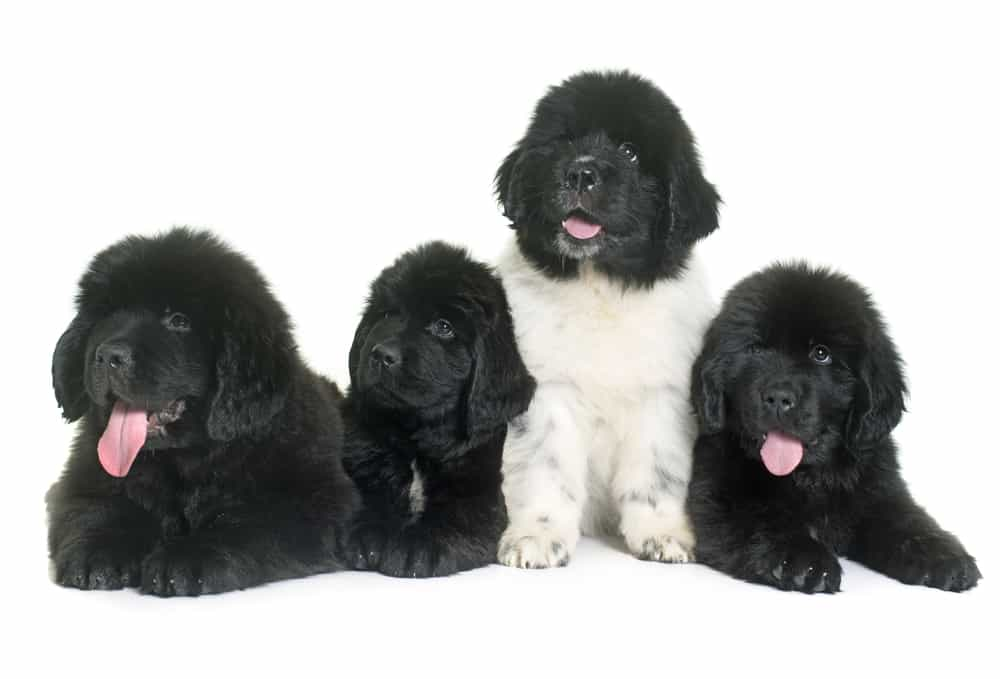 10 Best & Healthiest Dog Foods for Newfoundlands in 2020 28