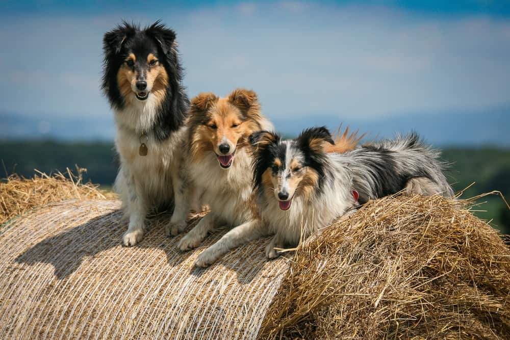 best dog food for Shetland Sheepdogs