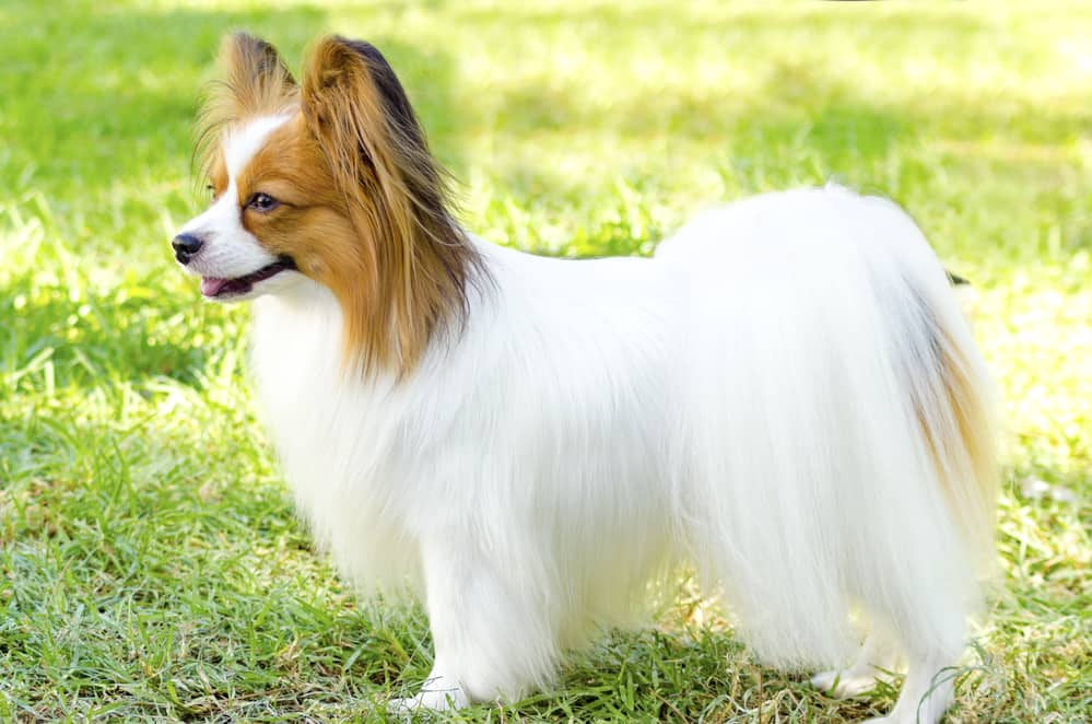 Best Dog Food For Papillons