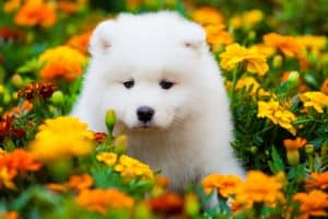 10 Best (Top Rated) Dog Foods for Samoyeds in 2020 29