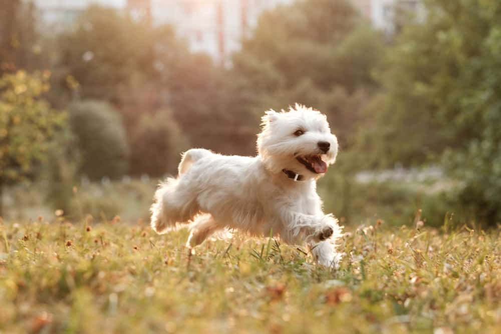 10 Healthiest & Best Dog Foods For Westies In [year] 30