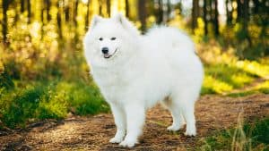 10 Best (Top Rated) Dog Foods for Samoyeds in 2020 30