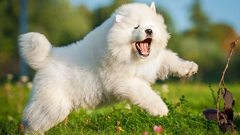 10 Healthiest & Best Dog Food for Samoyed in [year] 27