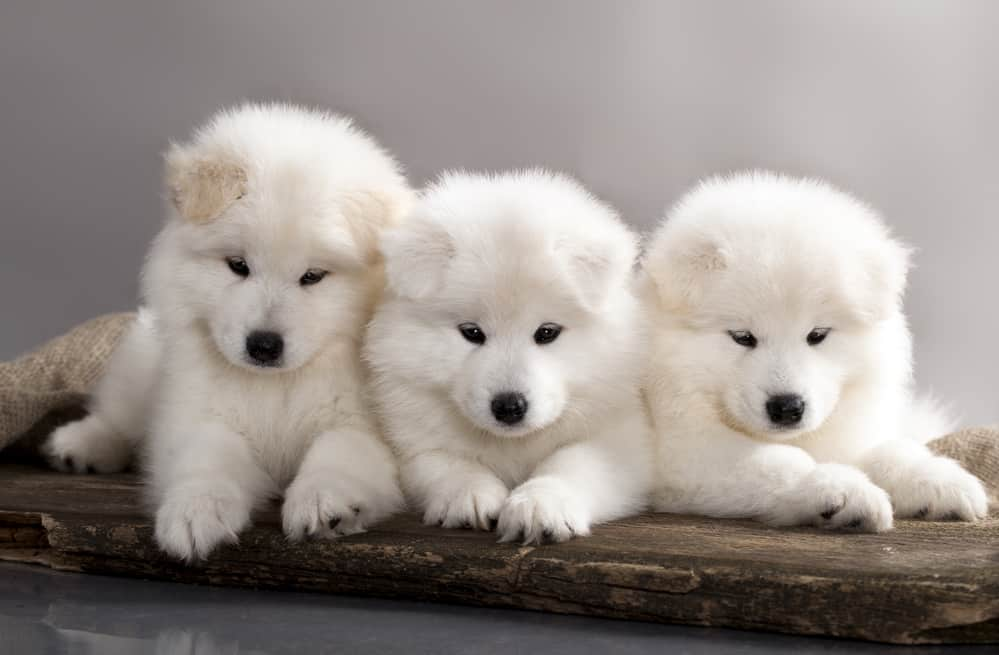 10 Healthiest & Best Dog Food for Samoyed in [year] 28