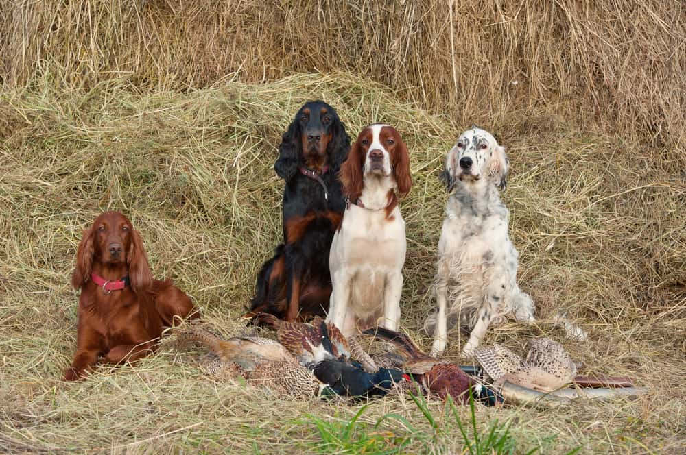 Dog Food For English Setters