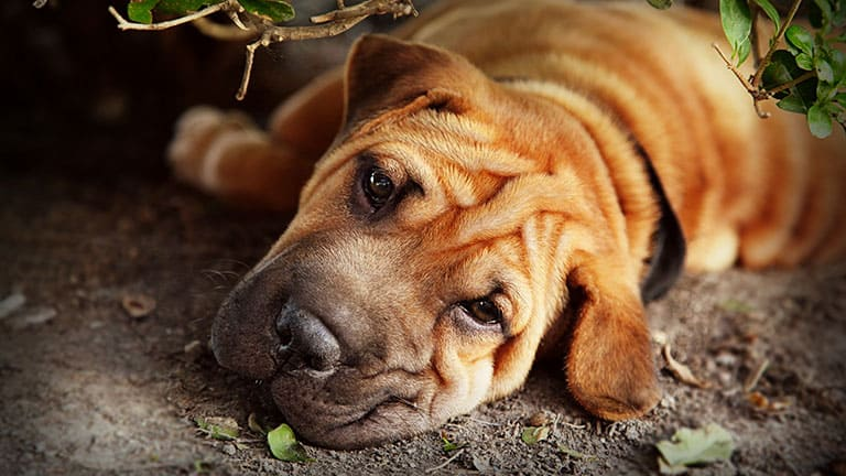 10 Best (Healthiest) Dog Food For Shar-Peis in 2020 29
