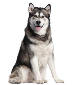 10 Best (Healthiest) Dog Foods For Alaskan Malamute in 2020 28