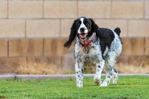 10 Best & Healthiest Dog Food For English Springer Spaniels in 2021 28