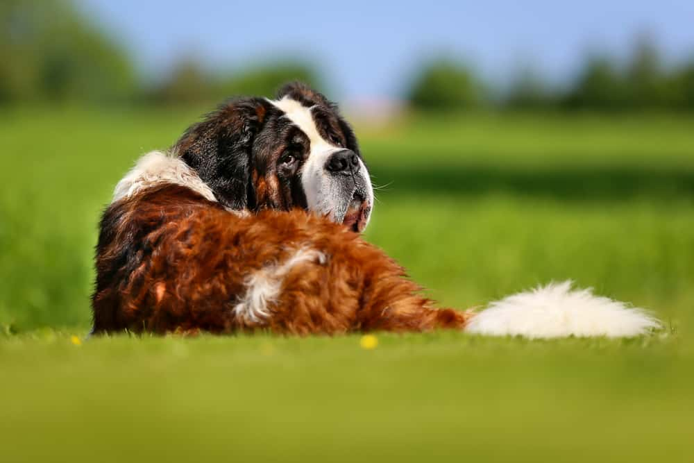 10 Best & Healthiest Dog Food For St. Bernards in 2020 27
