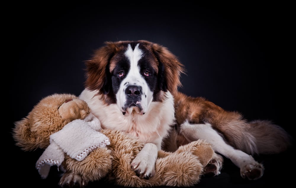 10 Best & Healthiest Dog Food For St. Bernards in 2020 28