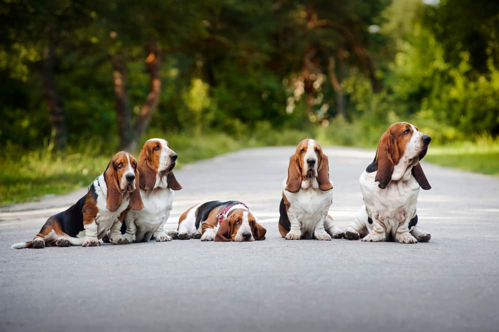 10 Best (Healthiest) Dog Foods for Basset Hounds in 2020 31