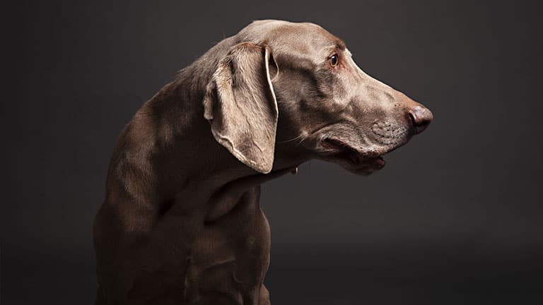 Best Dog Food for Weimaraners : Top Puppy, Adult & Senior Recommendations for 2020 7