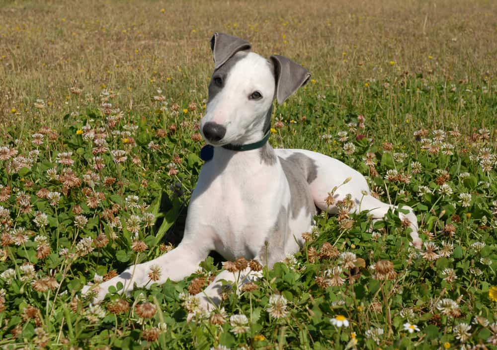 10 Best & Healthiest Dog Foods for Whippets in 2020 27
