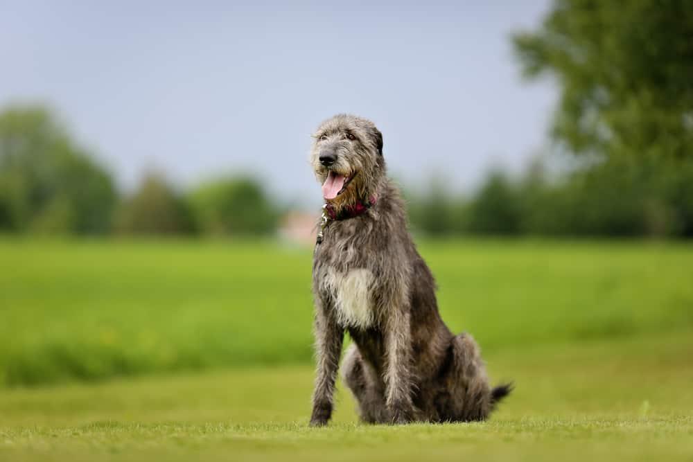 10 Best & Healthiest Dog Food For Irish Wolfhound in 2021 28