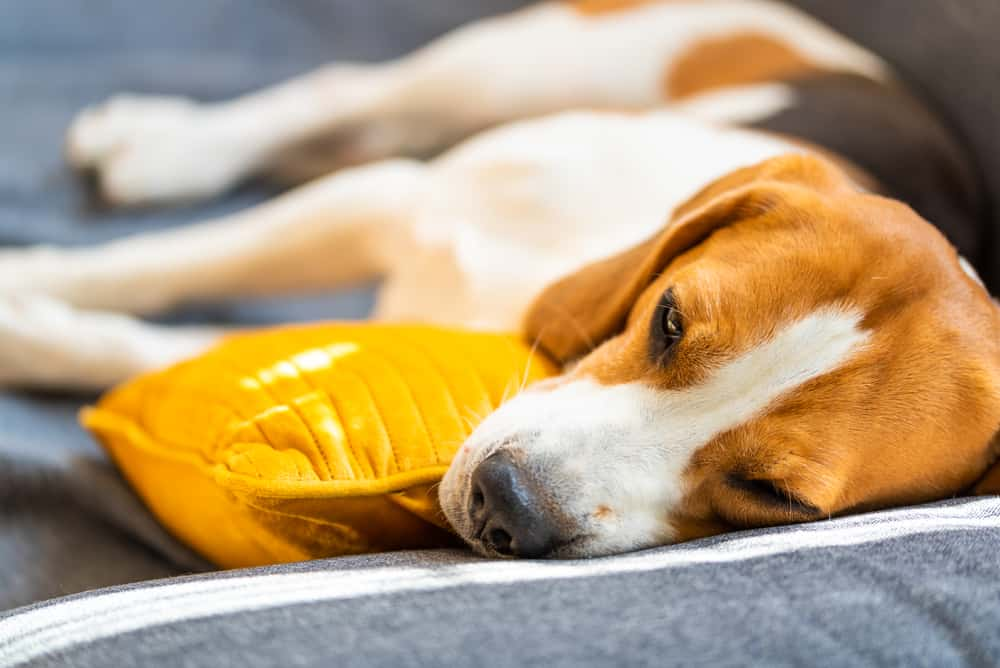Foods for Dogs with Hypothyroidism