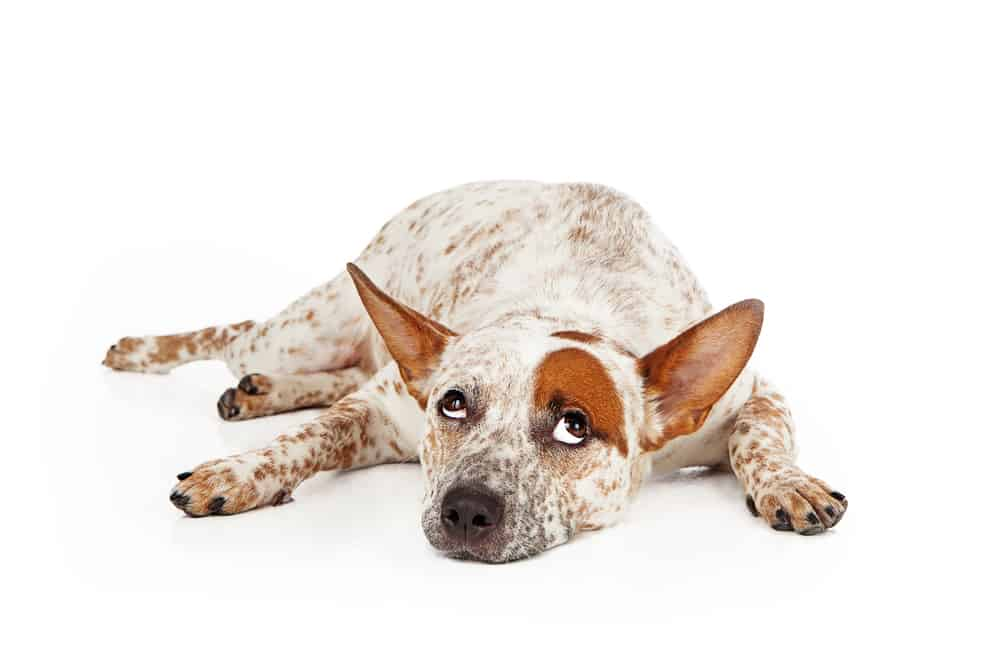 10 Best Dog Foods for Brain Health in 2021 27