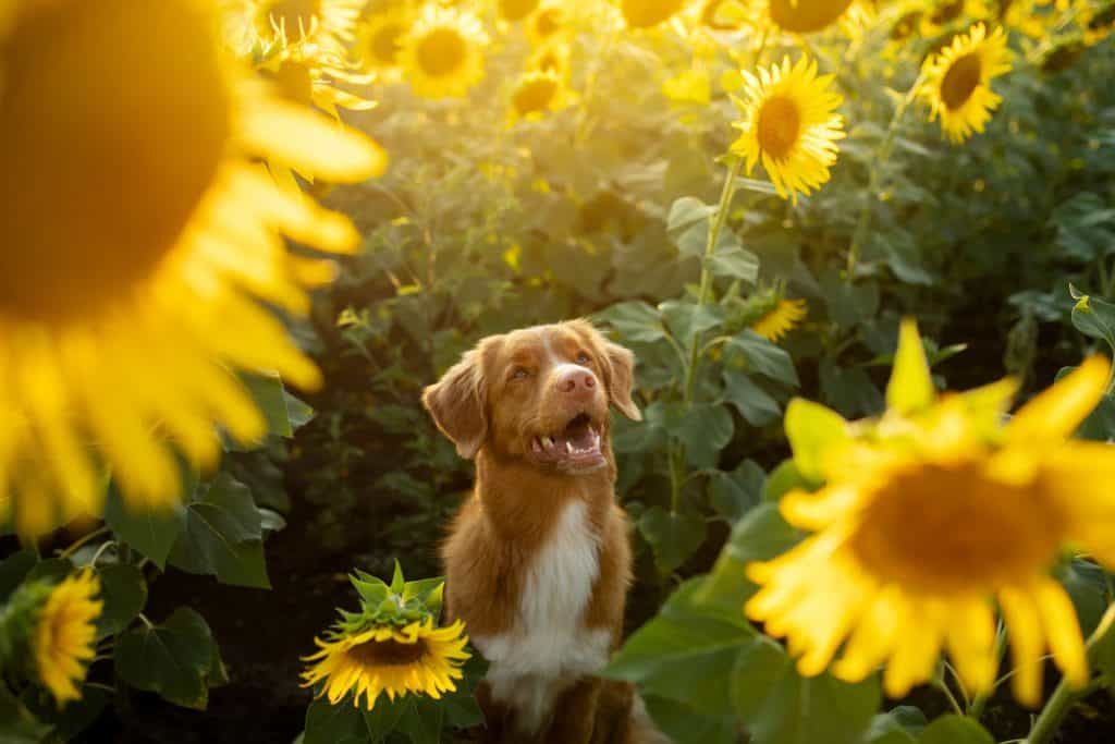 Can Dogs Eat Sunflower Seeds? What Are the Potential Side Effects of Sunflower Seeds in Dogs? 2