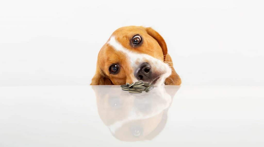 Can Dogs Eat Sunflower Seeds? What Are the Potential Side Effects of Sunflower Seeds in Dogs? 3