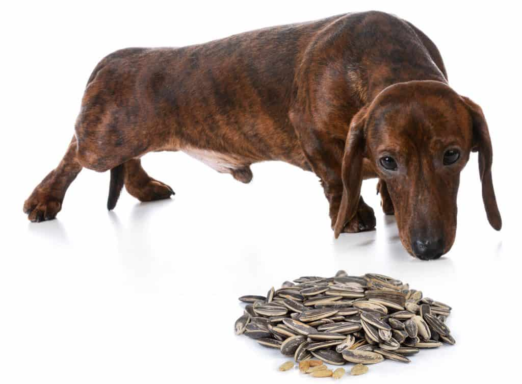 Can Dogs Eat Sunflower Seeds? What Are the Potential Side Effects of Sunflower Seeds in Dogs? 1