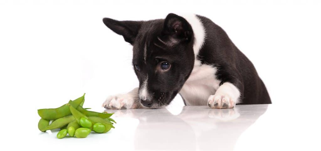 Can Dogs Eat Edamame? What Are the Health Benefits of Edamame for Dogs? 2