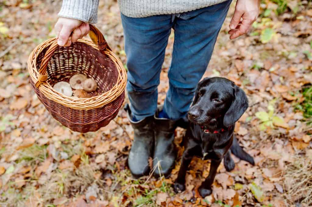 Can Dogs Eat Mushrooms? Which Mushrooms Are Toxic to Dogs? 4