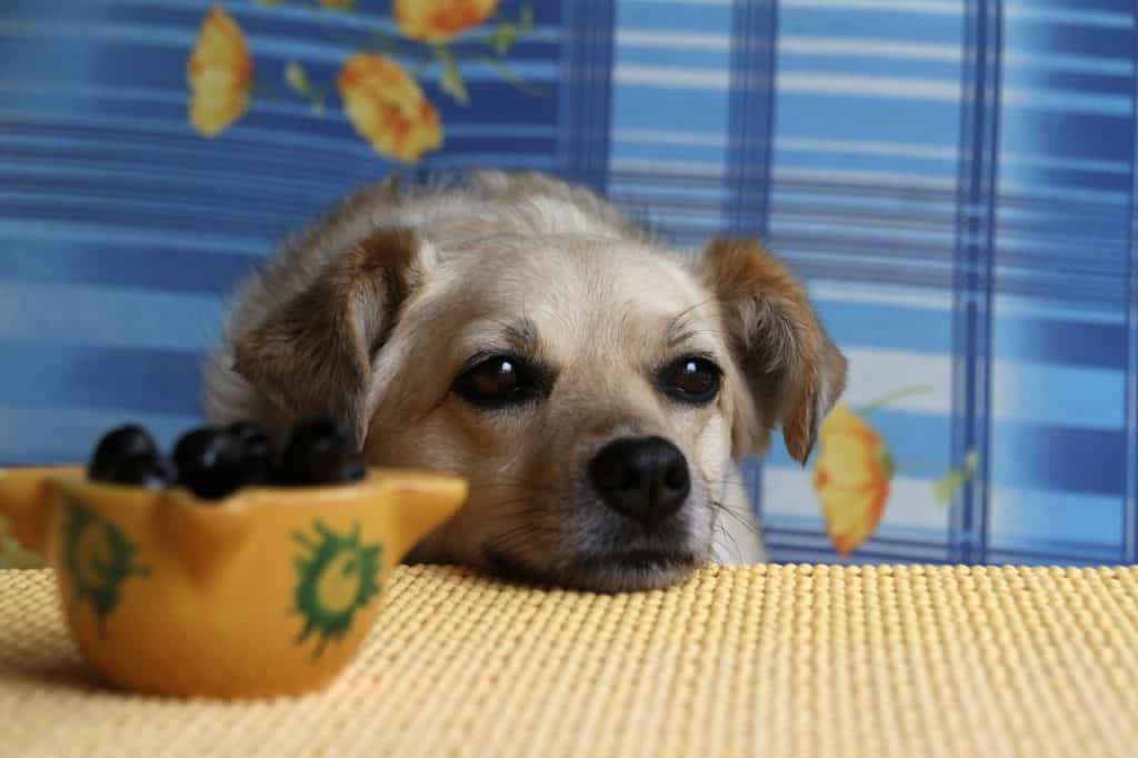 Can Dogs Eat Olives? Are Olives Toxic to Dogs? 3