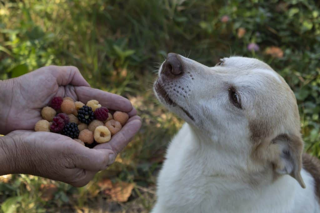 Can Dogs Eat Blackberries? Are Blackberries Toxic to Dogs? 2