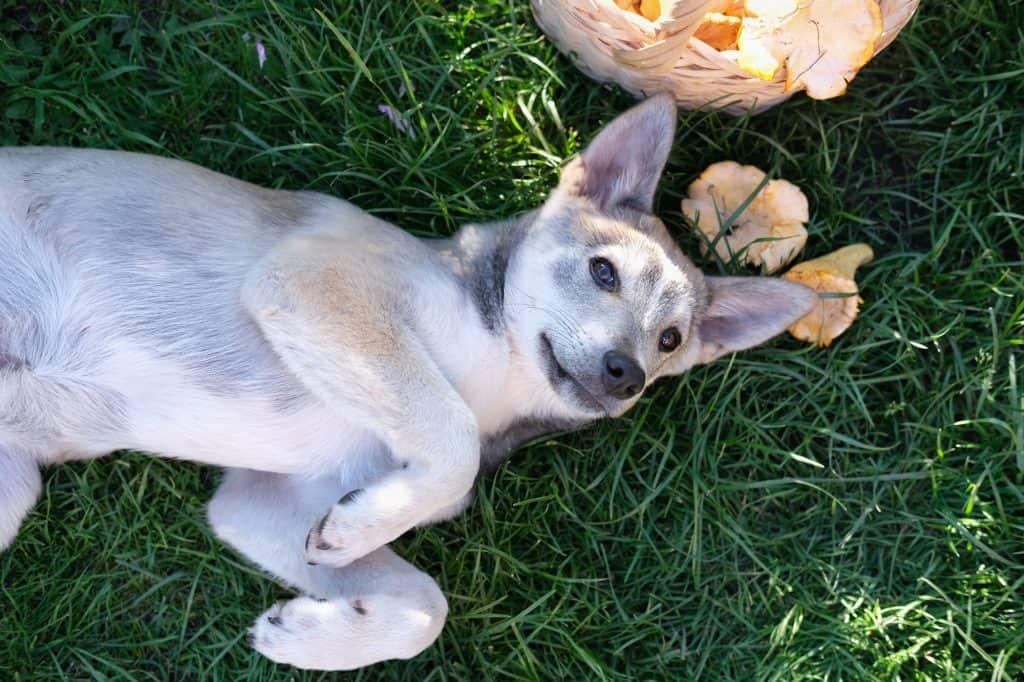 Can Dogs Eat Mushrooms? Which Mushrooms Are Toxic to Dogs? 2