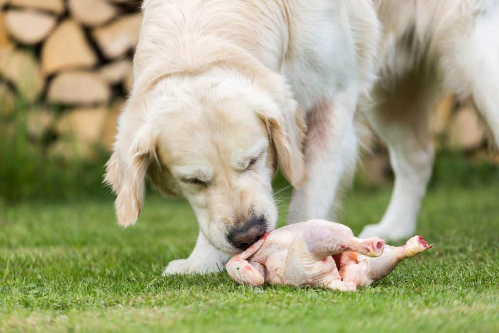 Can Dogs Eat Raw Chicken