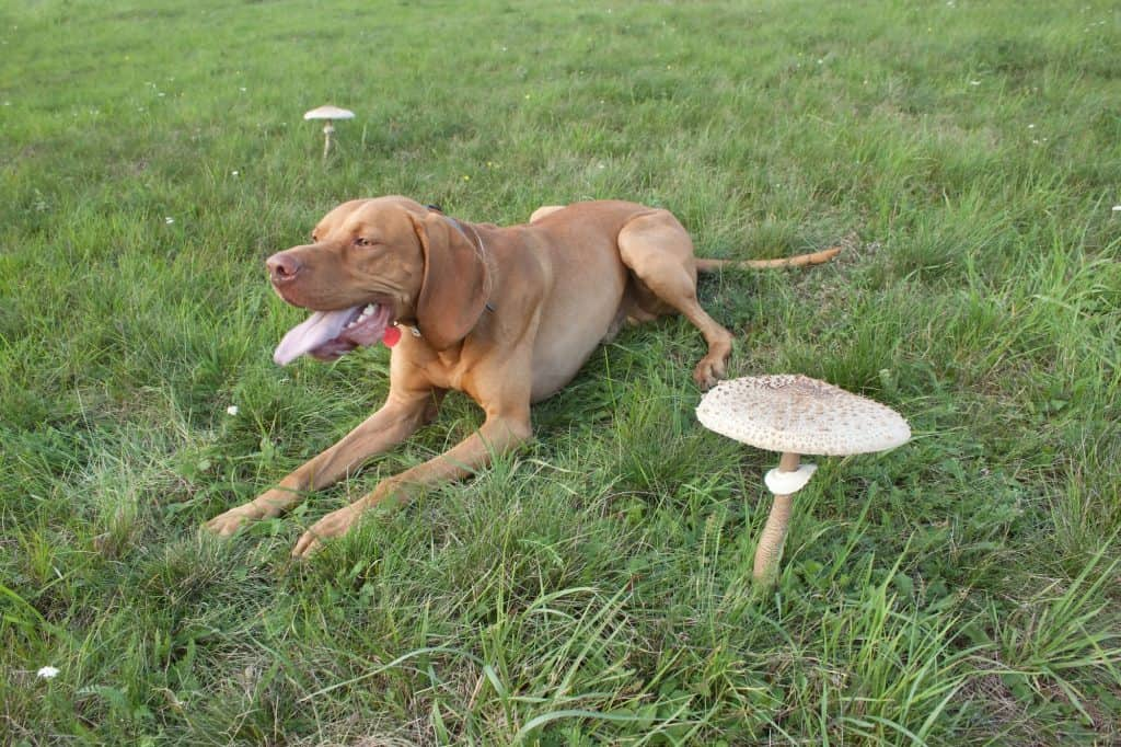 Can Dogs Eat Mushrooms? Which Mushrooms Are Toxic to Dogs? 3