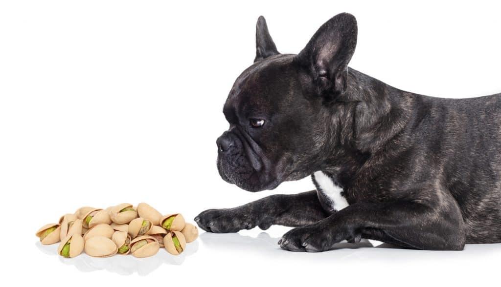 Can Dogs Eat Pistachios? What Happens If Your Dog Eats Pistachios? 1
