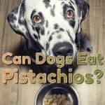 Can Dogs Eat Pistachios? What Happens If Your Dog Eats Pistachios?