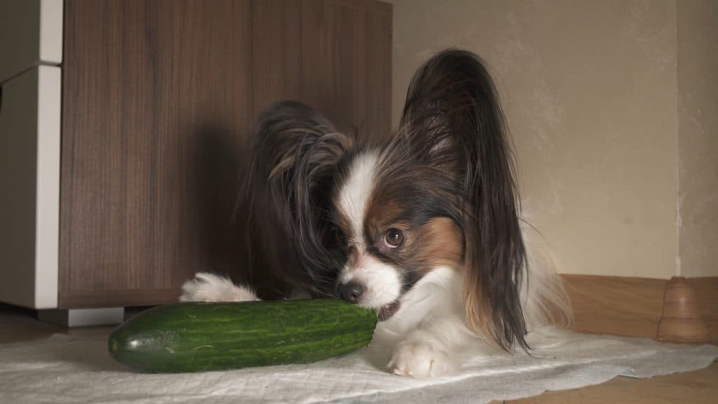 Can Dogs Eat Cucumbers? Are Cucumbers Good for Dogs? 4