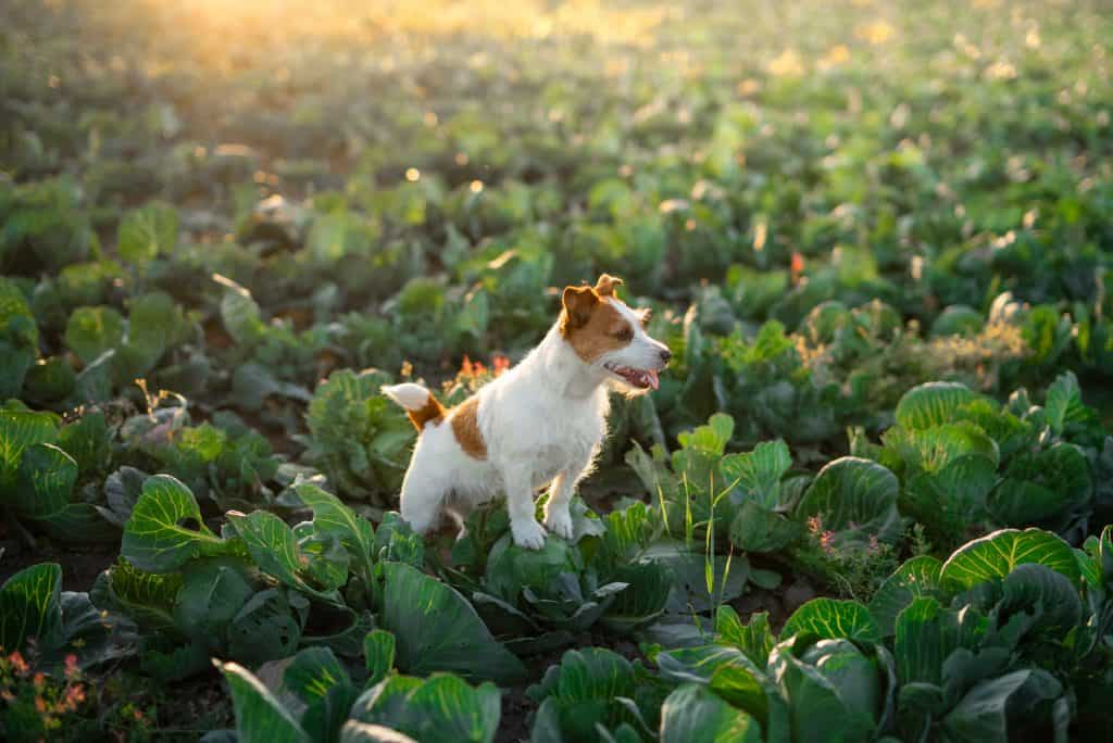 Can Dogs Eat Cabbage? Health Benefits of Cabbage for Dogs 2