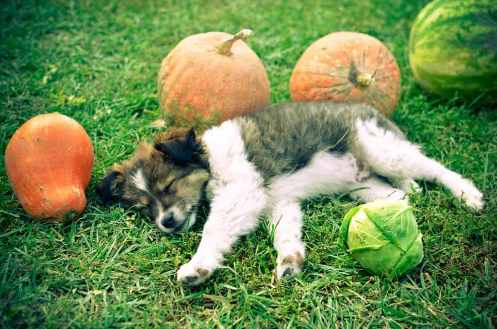 Can Dogs Eat Cabbage? Health Benefits of Cabbage for Dogs 4