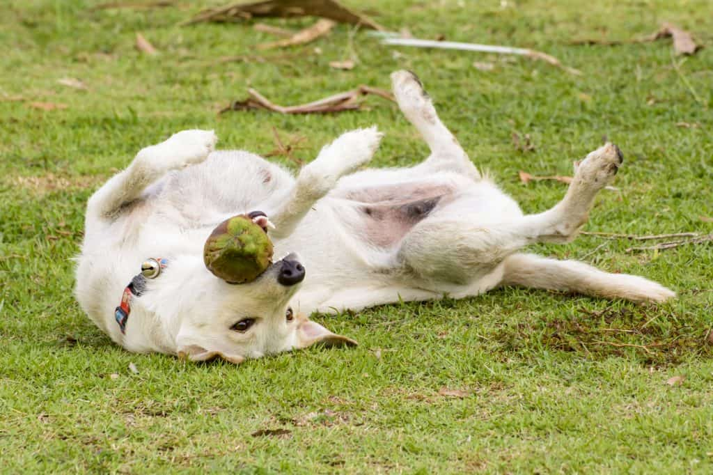 Can Dogs Eat Coconut? What Are the Health Benefits of Coconut to Your Dog? 1