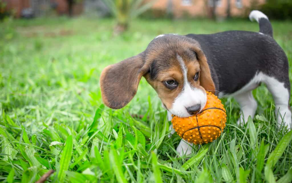 When Do Dogs Stop Growing? What Are the Factors That Affect Their Growth? 1