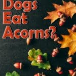 Can Dogs Eat Acorns? What Happens If Your Dog Has Eaten an Acorn?