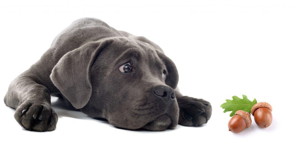 Can Dogs Eat Acorns? What Happens If Your Dog Has Eaten an Acorn? 1