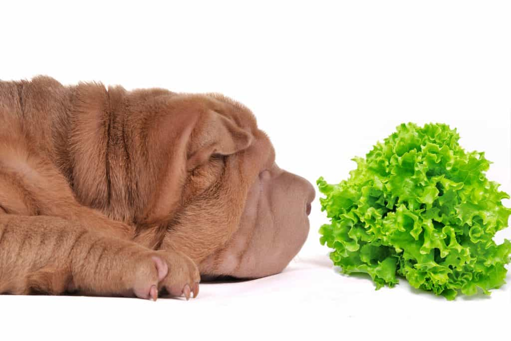 sharpei sniffing a lettuce