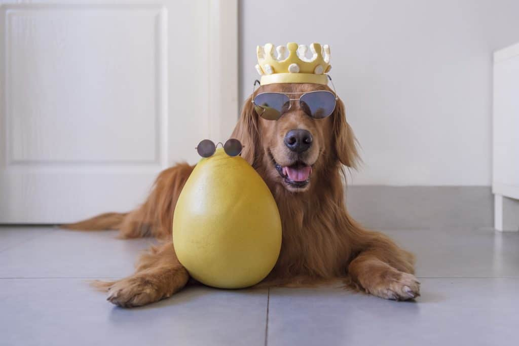 Can Dogs Eat Grapefruit? What Should You Do If Your Dog Ate Grapefruit? 1