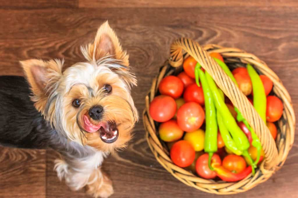 yorkie with tomatoes