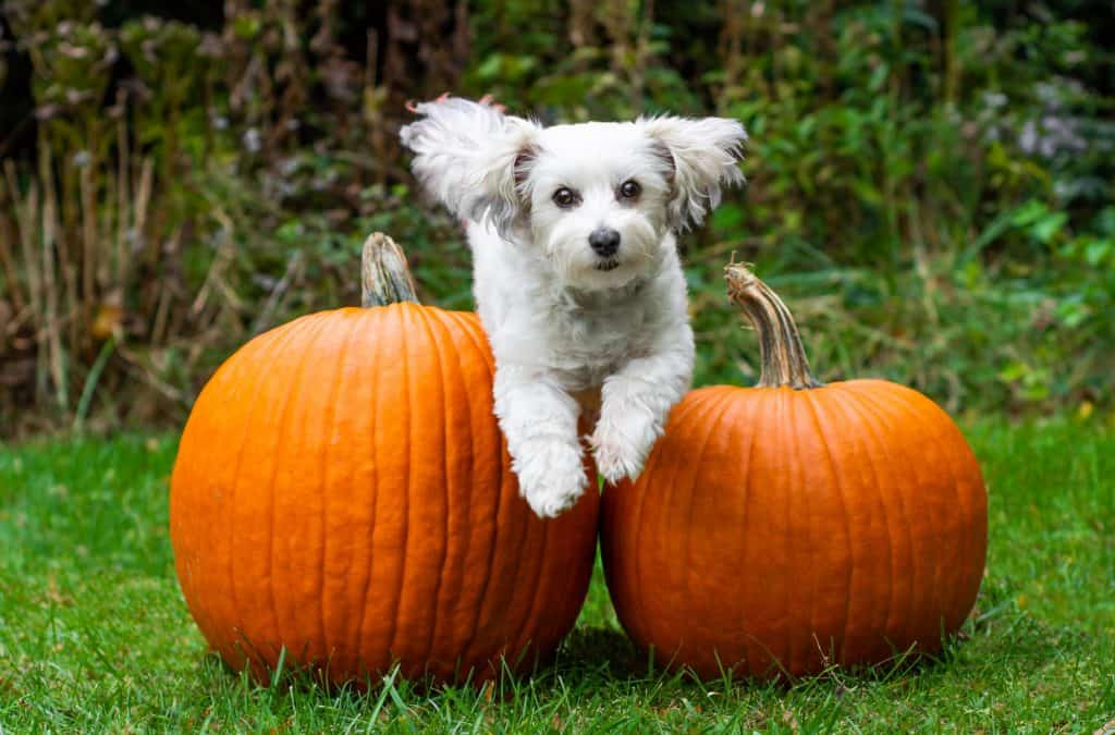 Can Dogs Eat Pumpkin? What Are the Benefits of Pumpkin to Your Dog's Health? 2