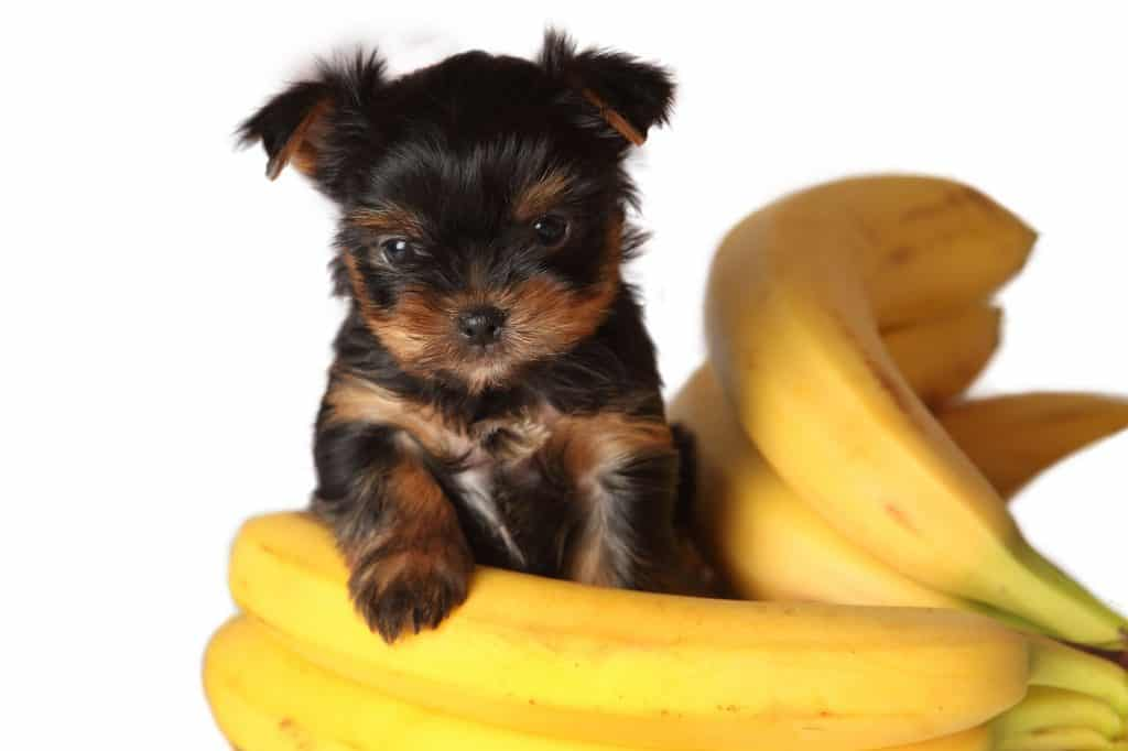 Can Dogs Eat Banana? When Are Bananas Bad for Dogs? 2