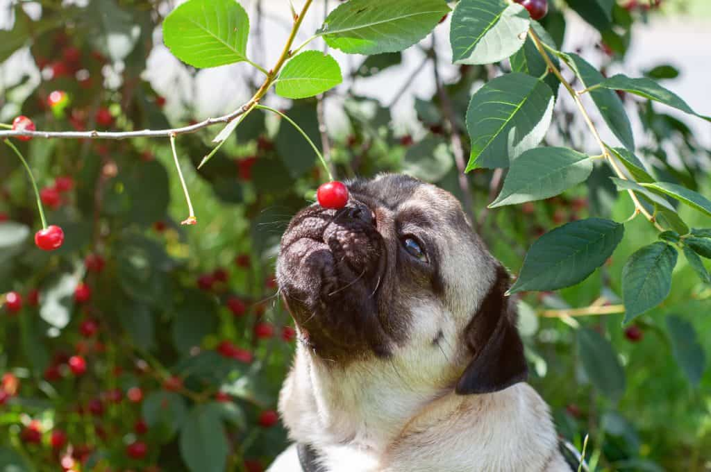 Can Dogs Eat Cherries? The Truth Behind Cherries Uncovered 2