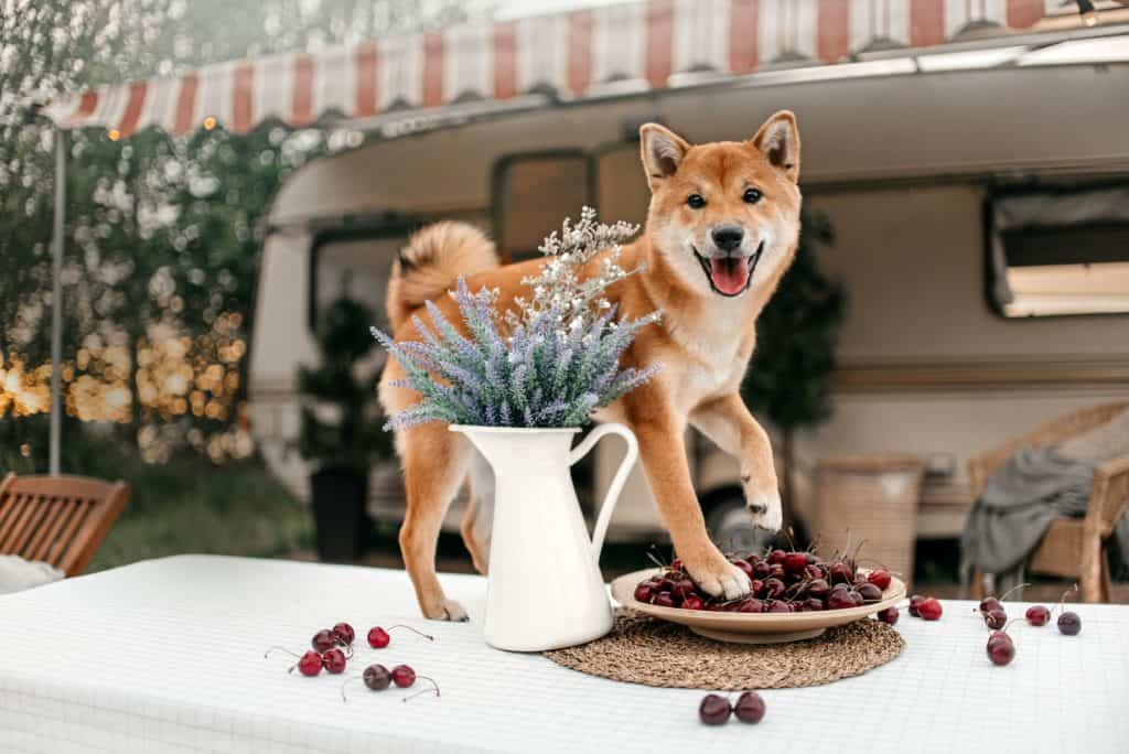 Can Dogs Eat Cherries? The Truth Behind Cherries Uncovered 1