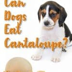 Can Dogs Eat Cantaloupe? What Can Cantaloupe Do To Your Pup's Health