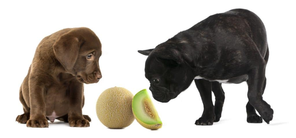 Can Dogs Eat Cantaloupe? What Can Cantaloupe Do To Your Pup's Health 2