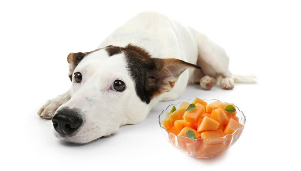 Can Dogs Eat Cantaloupe? What Can Cantaloupe Do To Your Pup's Health 1