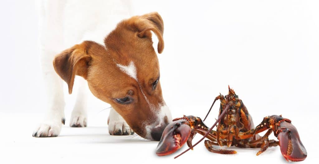 Yes, It's Pricey, But It Sure Is Tasty! Can Dogs Eat Lobster? 2